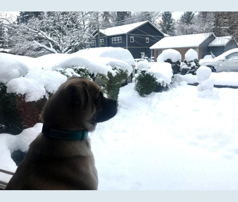 Photo of Skylar, a Pug and Poodle (Small) mix in Shoreline, Washington, USA