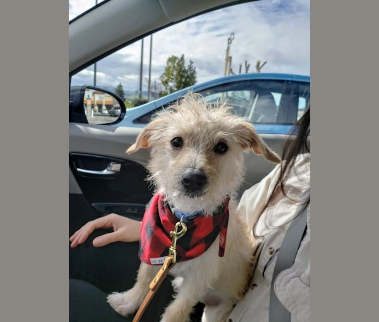 Photo of Laka, a Chihuahua, Poodle (Small), and Mixed mix in Stockton, California, USA