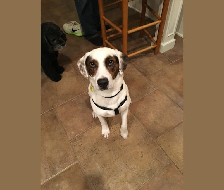 Photo of Bandit, an American Pit Bull Terrier, Boxer, Beagle, and Mixed mix in Kentucky, USA