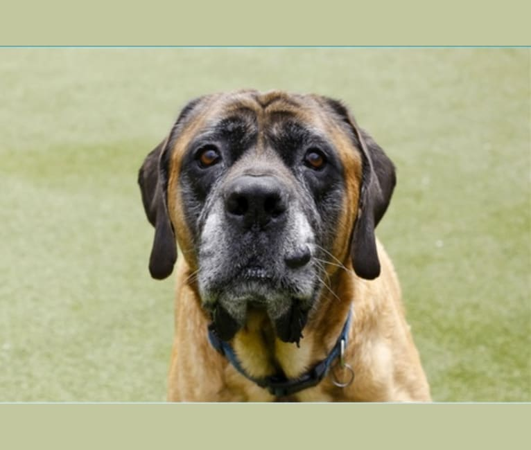 Photo of Charlie Brown, a Mastiff  in National City, California, USA