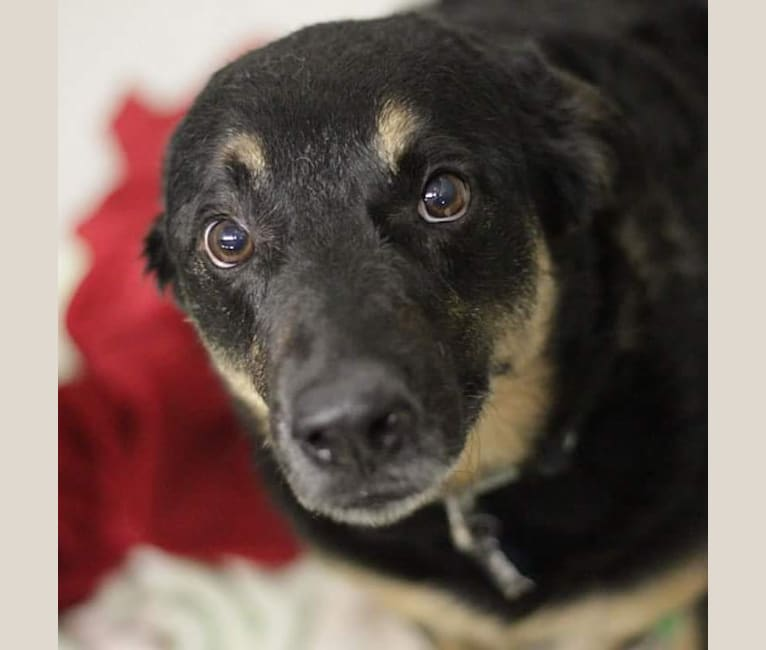 Photo of Duke, an Australian Cattle Dog, Chow Chow, German Shepherd Dog, Border Collie, and Mixed mix in Hallsville, Texas, USA