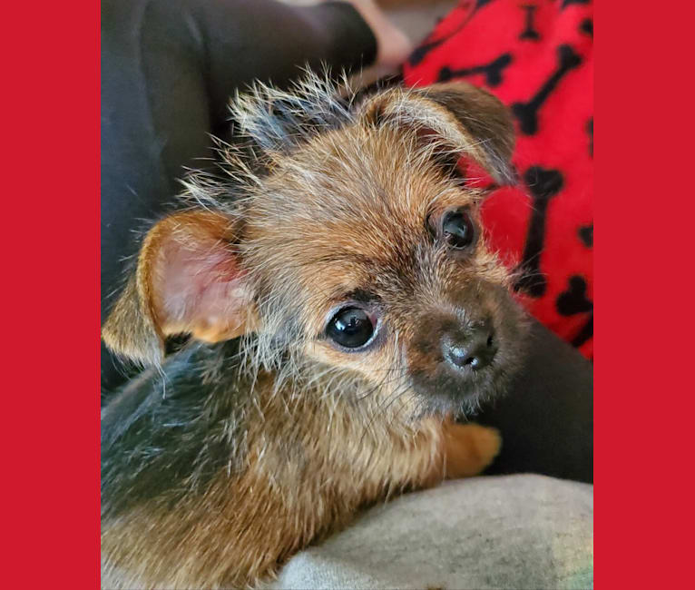 Photo of Pebbles, a Chihuahua, Pekingese, Shih Tzu, and Dachshund mix in Memphis, TN, USA