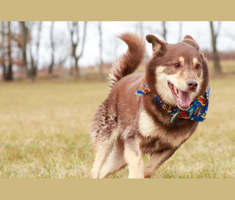 Photo of Tanner, a Chow Chow, Labrador Retriever, German Shepherd Dog, Chihuahua, and Mixed mix in Fairfax Station, Virginia, USA