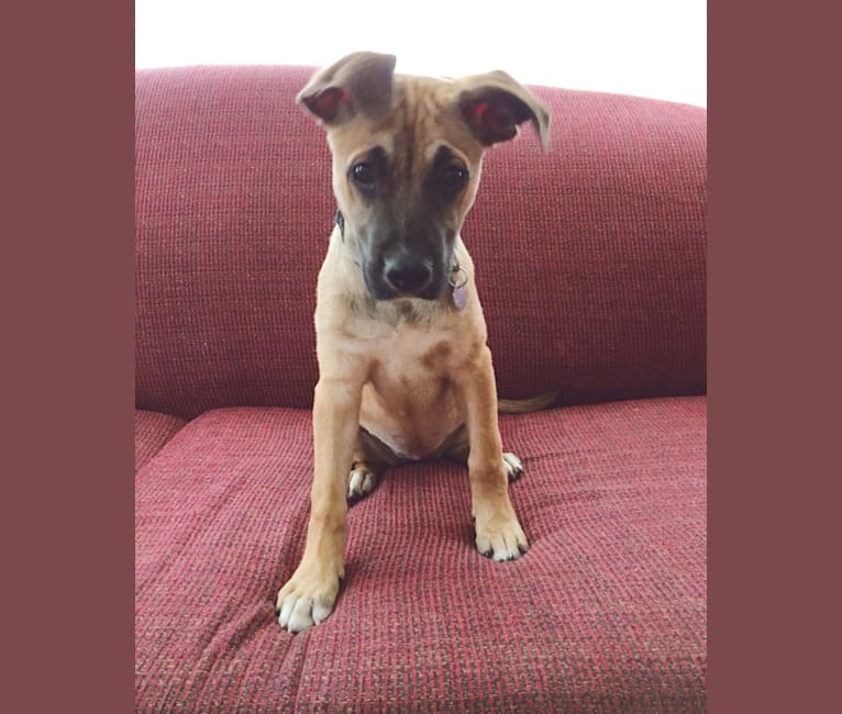 Photo of Isabel, an American Pit Bull Terrier, German Shepherd Dog, and Catahoula Leopard Dog mix in Tennessee, USA