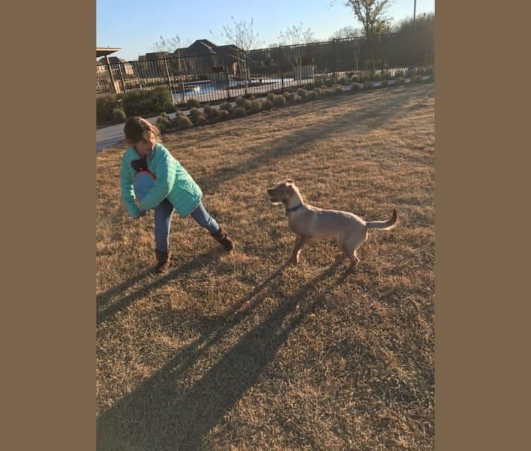 Photo of Maverick, a Labrador Retriever, Shih Tzu, Chihuahua, Chow Chow, and Mixed mix in Dallas, Texas, USA