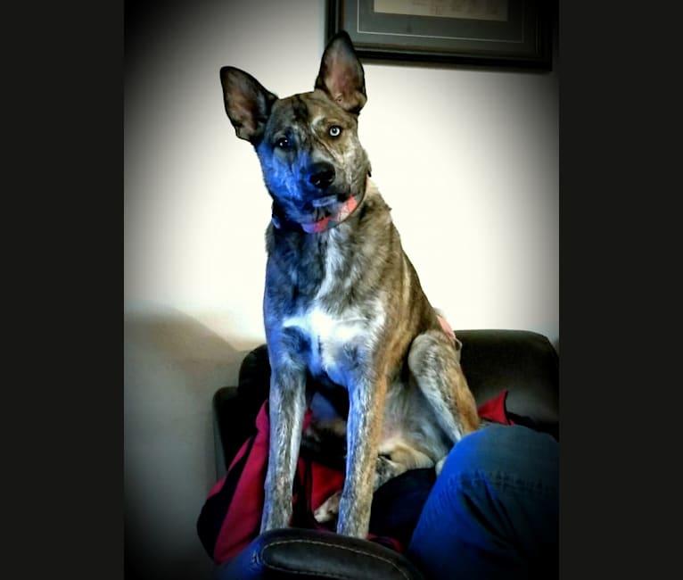 Photo of Rheagal Jr (RJ), a German Shepherd Dog, Siberian Husky, and Australian Cattle Dog mix in Tecumseh, Oklahoma, USA