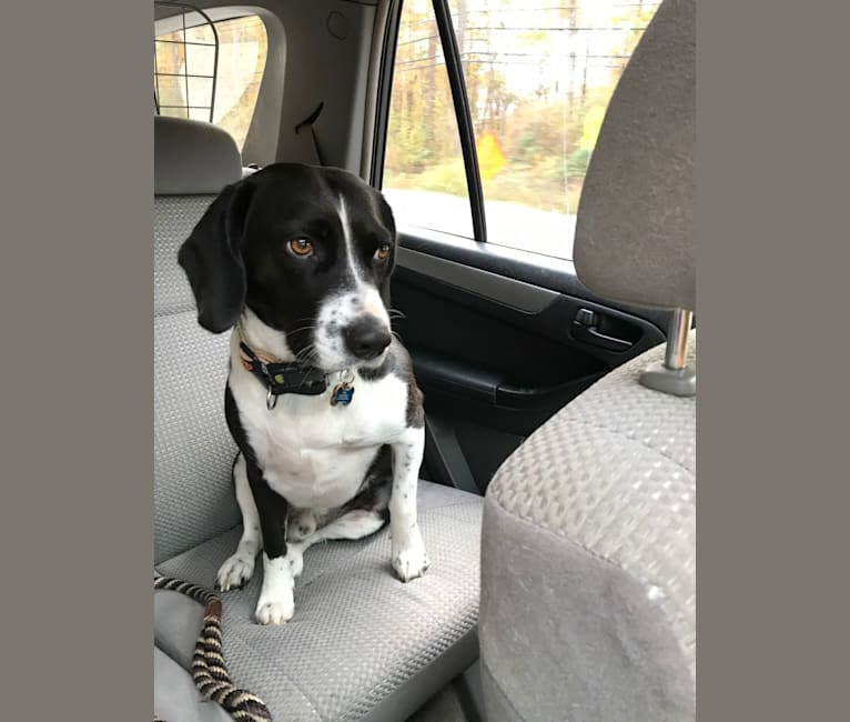 Photo of Bodie, a Beagle, American Pit Bull Terrier, and Mixed mix in Maryland, USA