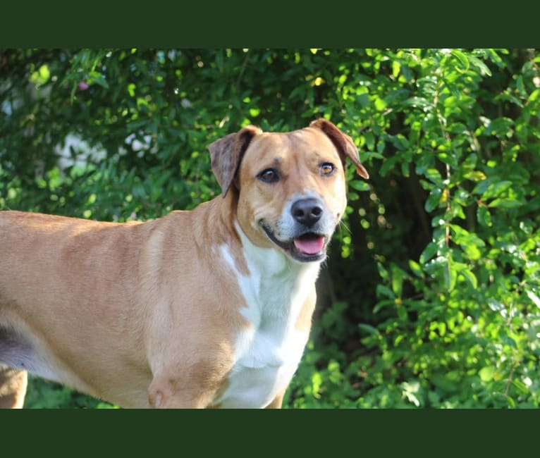Photo of Roxie Mae, an American Pit Bull Terrier, Australian Shepherd, Boxer, and American Staffordshire Terrier mix in Texas, USA