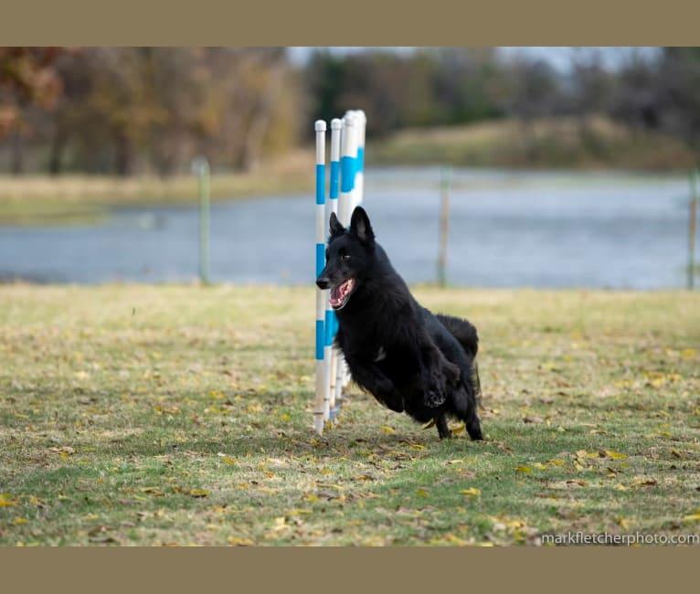 "Photo of Spitfire's Quizzical Quest ""Finch"", a Belgian Shepherd  in Sherman, TX, USA"