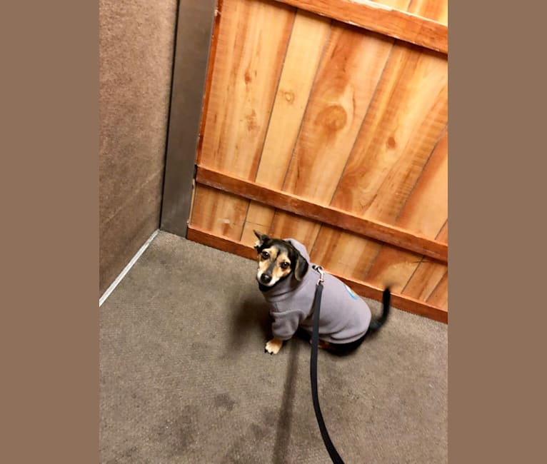 Photo of Paco, a Chihuahua, Miniature Pinscher, Yorkshire Terrier, and Mixed mix in West Chester, Pennsylvania, USA
