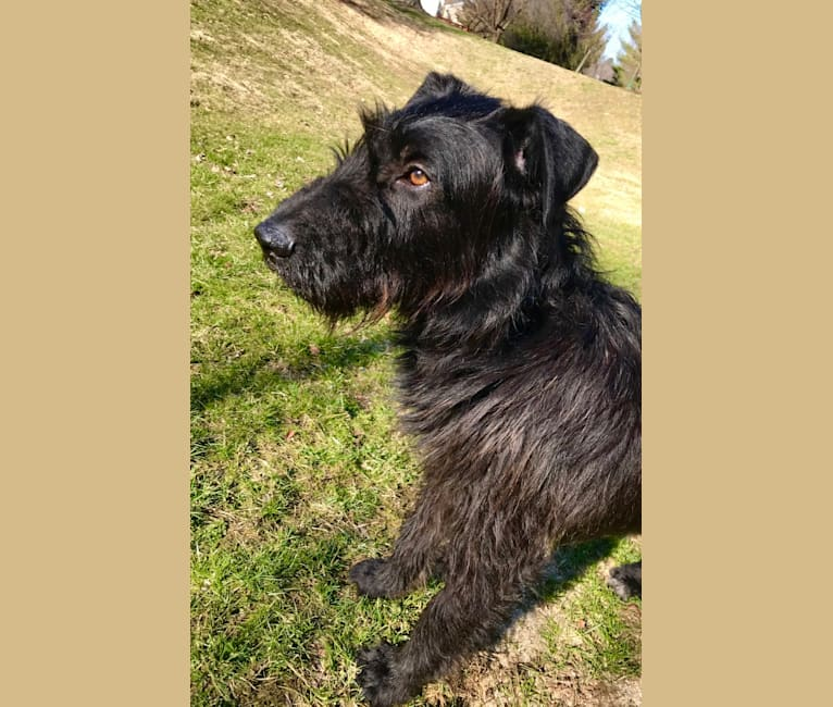 Photo of Earl, an Airedale Terrier, German Shepherd Dog, and German Wirehaired Pointer mix in United States