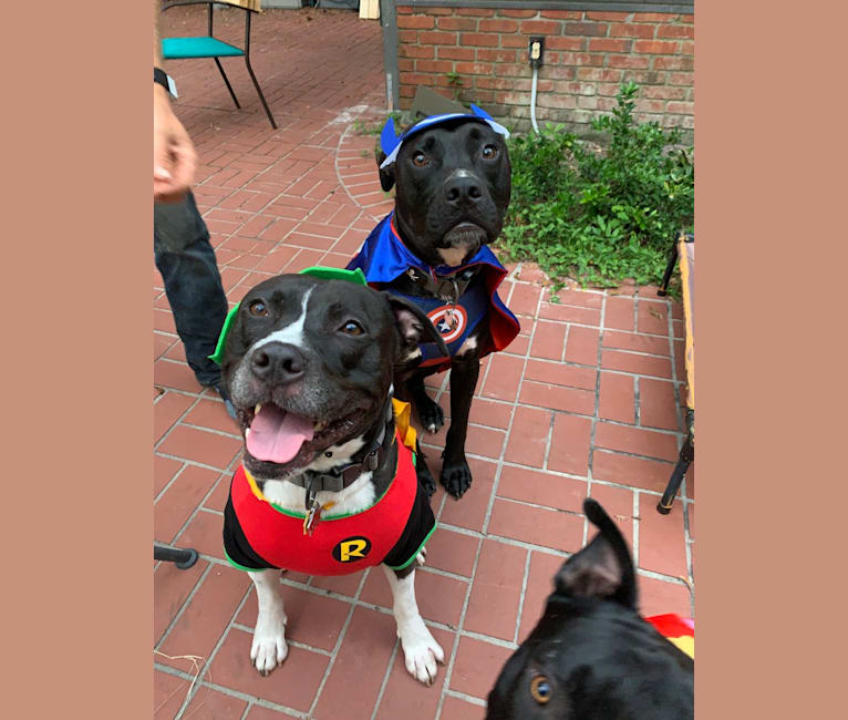 Photo of Oliver, an American Pit Bull Terrier, American Staffordshire Terrier, and Mixed mix in Tampa, Florida, USA