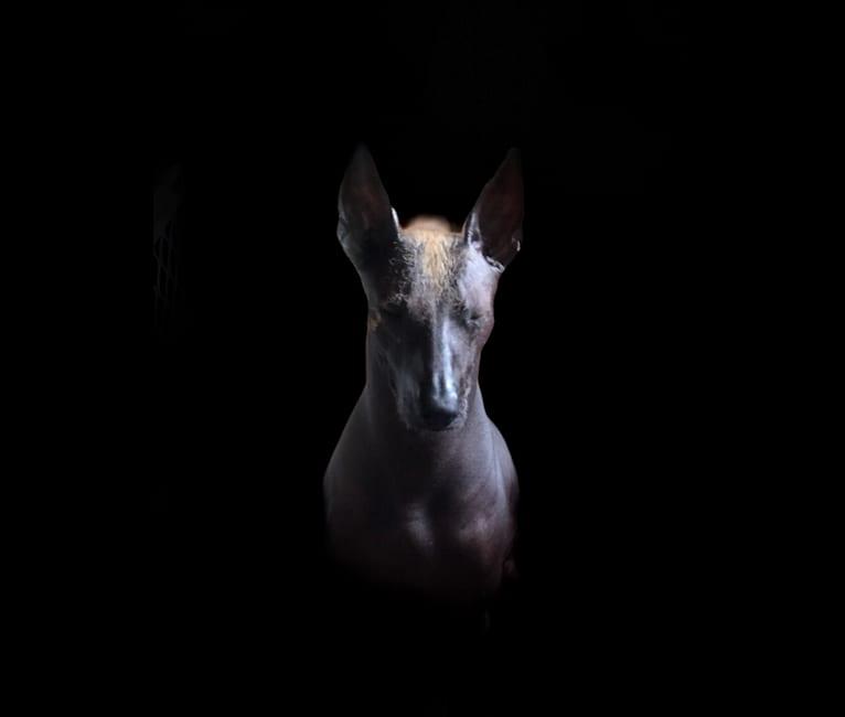 Photo of Kakmo (Cortez), a Xoloitzcuintli  in D.F., Mexico