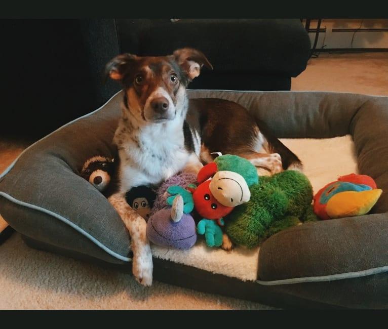 Photo of Nova, a Rat Terrier, German Shepherd Dog, Shetland Sheepdog, and Mixed mix in Croydon, Pennsylvania, USA