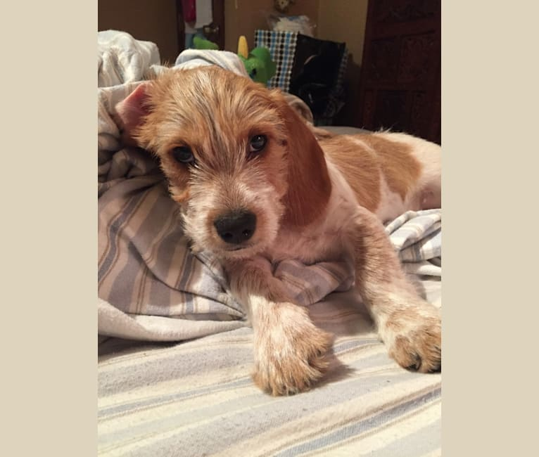 Photo of Beans, a Beagle, Yorkshire Terrier, and Dachshund mix in Missouri, USA