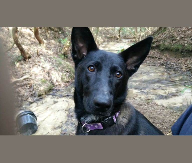 Photo of Jessie dog, a German Shepherd Dog and Labrador Retriever mix
