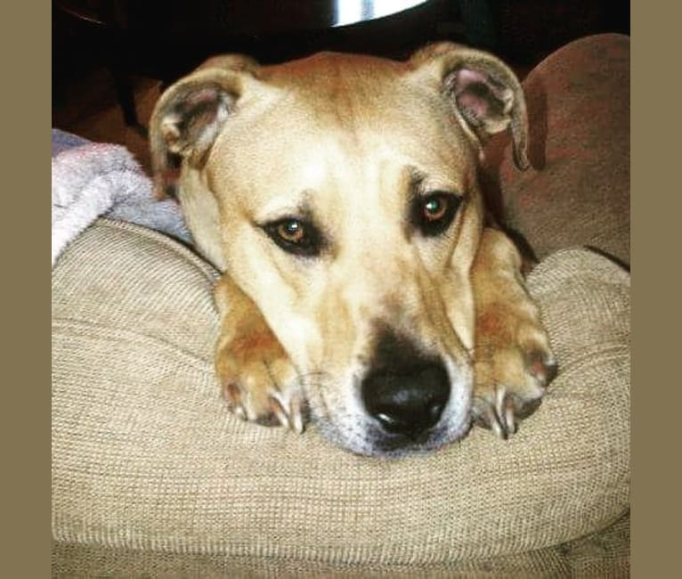 Photo of Davis, an American Pit Bull Terrier and Siberian Husky mix