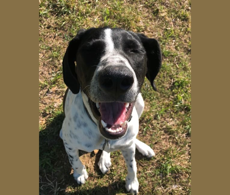 Photo of Callie, a Treeing Walker Coonhound, Border Collie, and Great Pyrenees mix in Bethpage, Tennessee, USA