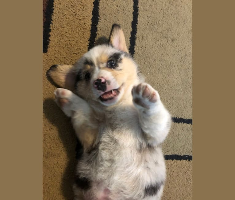 Photo of Corky, a Pembroke Welsh Corgi mix in Homedale, ID, USA