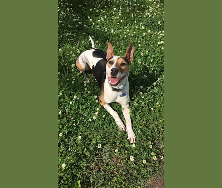 Photo of Fletcher, an American Pit Bull Terrier, German Shepherd Dog, Australian Shepherd, and Border Collie mix in Fort Worth, Texas, USA
