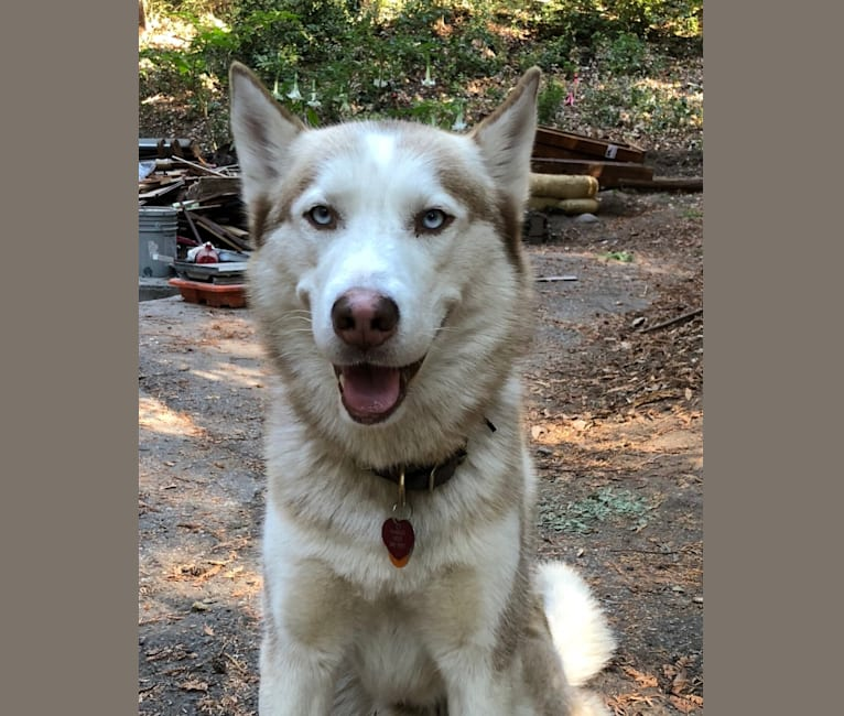 Photo of Marley, a Siberian Husky  in Berkeley, California, USA