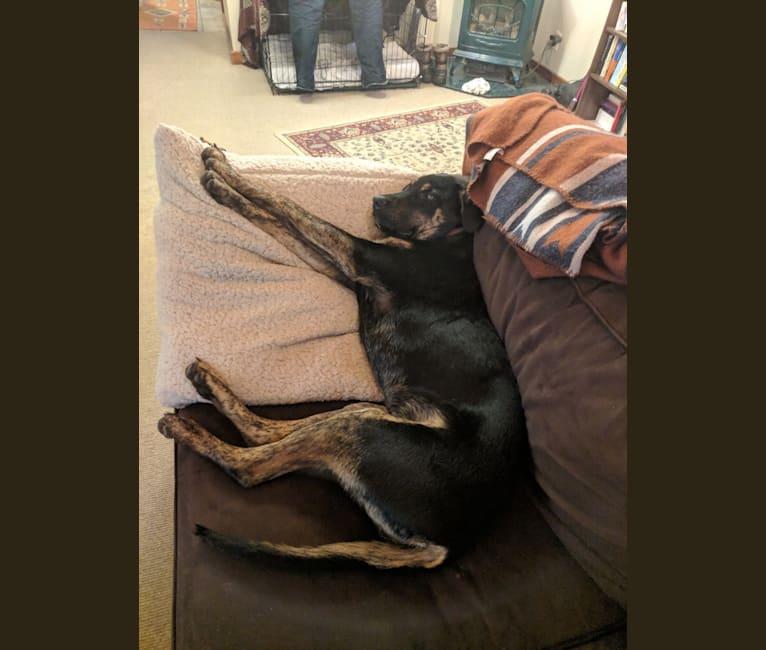 Photo of Murphy, a Bullmastiff, German Shepherd Dog, Labrador Retriever, and Rottweiler mix