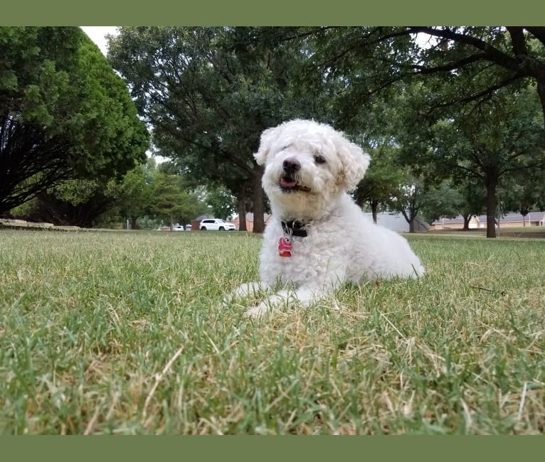 Photo of RAMBO, a Poodle (Small) and Mixed mix in USA
