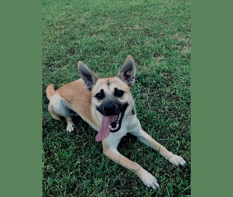 Photo of Diesel, a Chihuahua, German Shepherd Dog, Chow Chow, American Pit Bull Terrier, and Mixed mix in Leland, North Carolina, USA