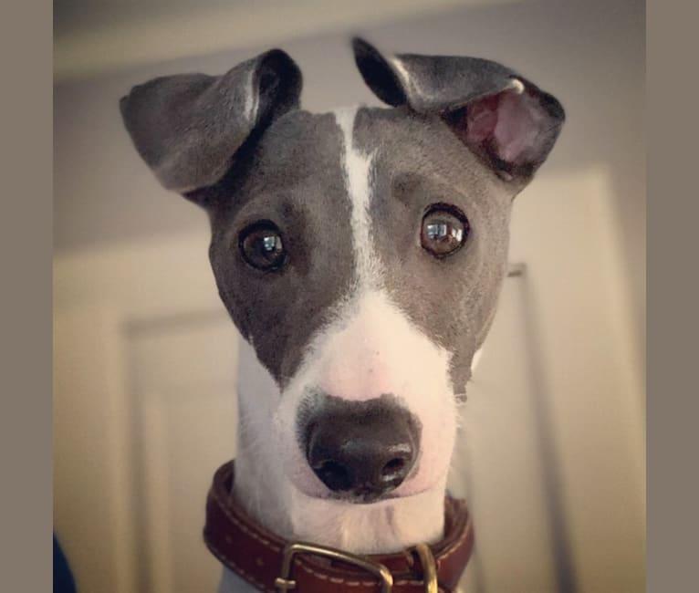 Photo of Enzo, an Italian Greyhound  in Sugar Valley, GA, USA