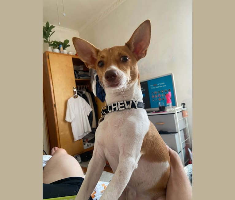 Photo of Chewy, a Chihuahua, Miniature Pinscher, and Mixed mix in Los Angeles, California, USA