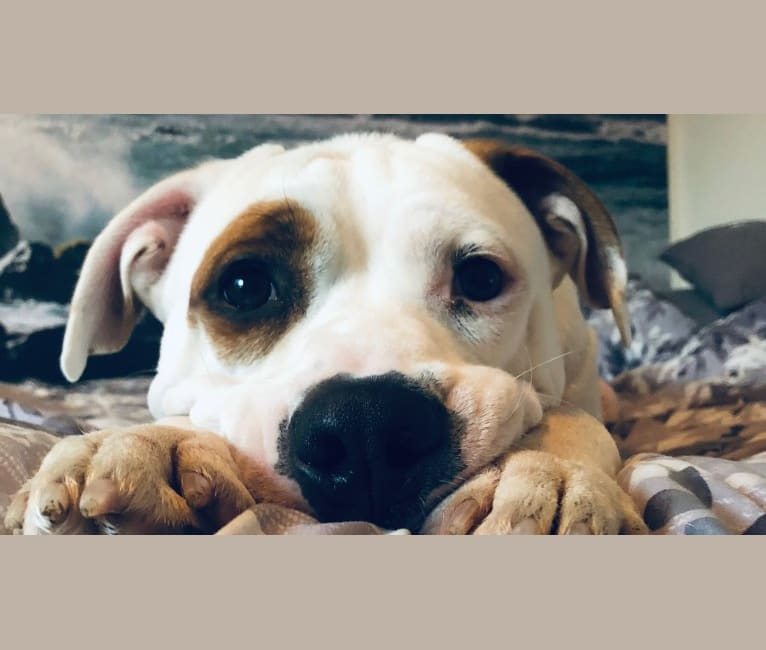 Photo of Baloo, an American Pit Bull Terrier, Boxer, and American Staffordshire Terrier mix in USA