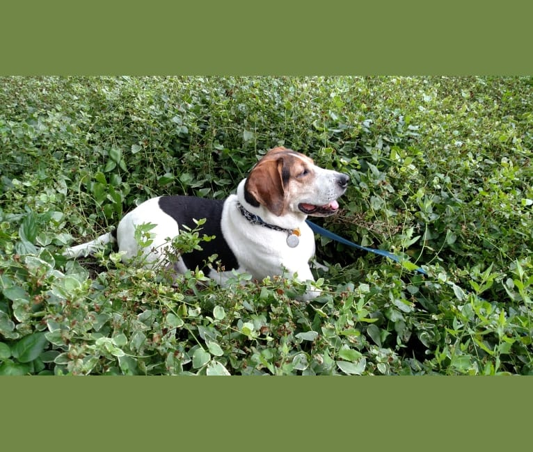 Photo of Colton, a Treeing Walker Coonhound  in Ohio, USA