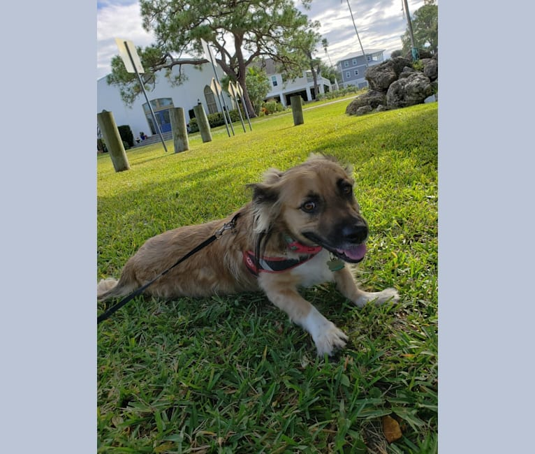 Photo of Mochi, an American Pit Bull Terrier, American Staffordshire Terrier, Bichon Frise, and Mixed mix in Clearwater, Florida, USA
