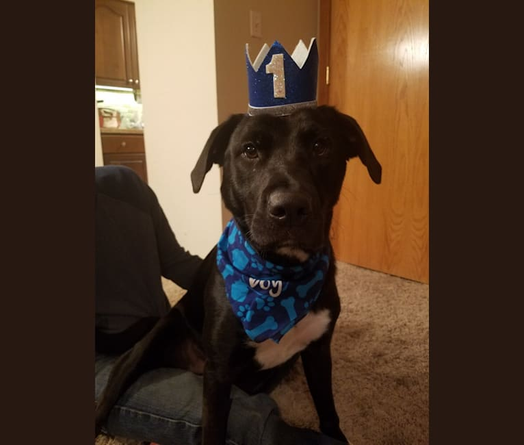 Photo of Rev, a Labrador Retriever and American Pit Bull Terrier mix in Clive, Iowa, USA