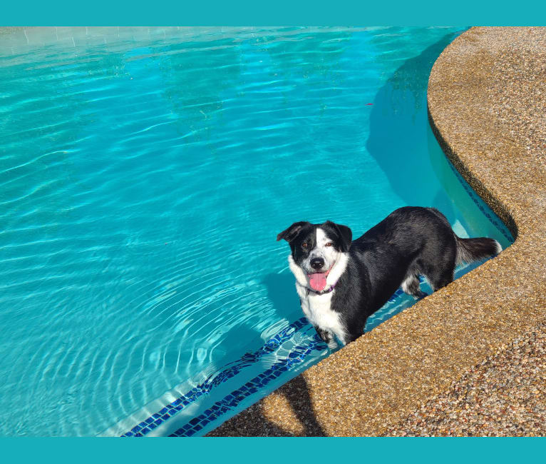 Photo of Molly, a Border Collie, German Shepherd Dog, American Pit Bull Terrier, and Mixed mix in California, USA