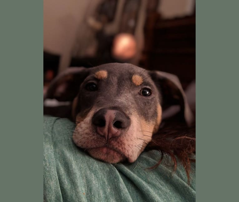 Photo of Grim, an American Pit Bull Terrier, Australian Cattle Dog, Chow Chow, Beagle, and Mixed mix in Gainesville, Georgia, USA