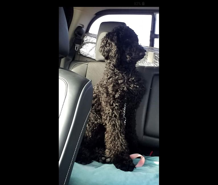 Photo of Carlie, a Poodle (Standard)  in Garland, TX, USA