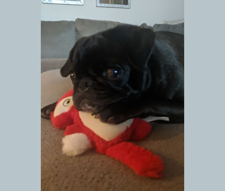 Photo of Skittles, a Pug  in New Port Richey, FL, USA