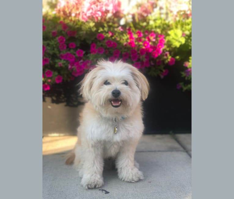 Photo of Teddy, a Bichon Frise and Pomeranian mix