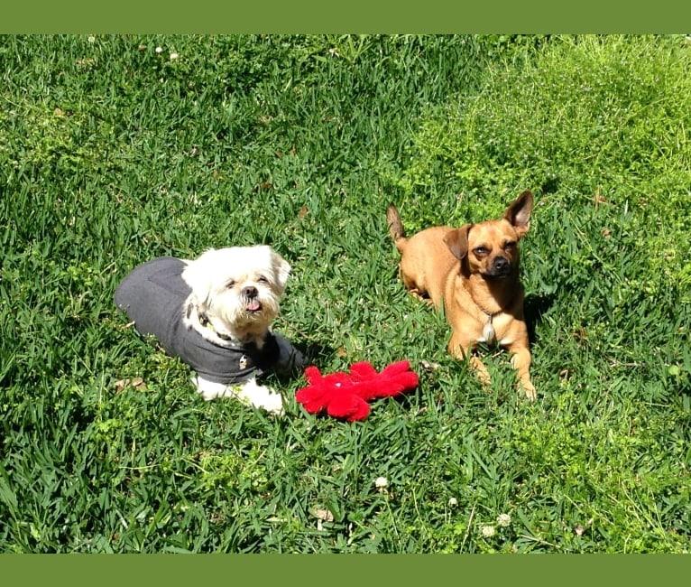 Photo of Dory, a Chihuahua, Dalmatian, Shih Tzu, and Mixed mix in Dickinson, Texas, USA