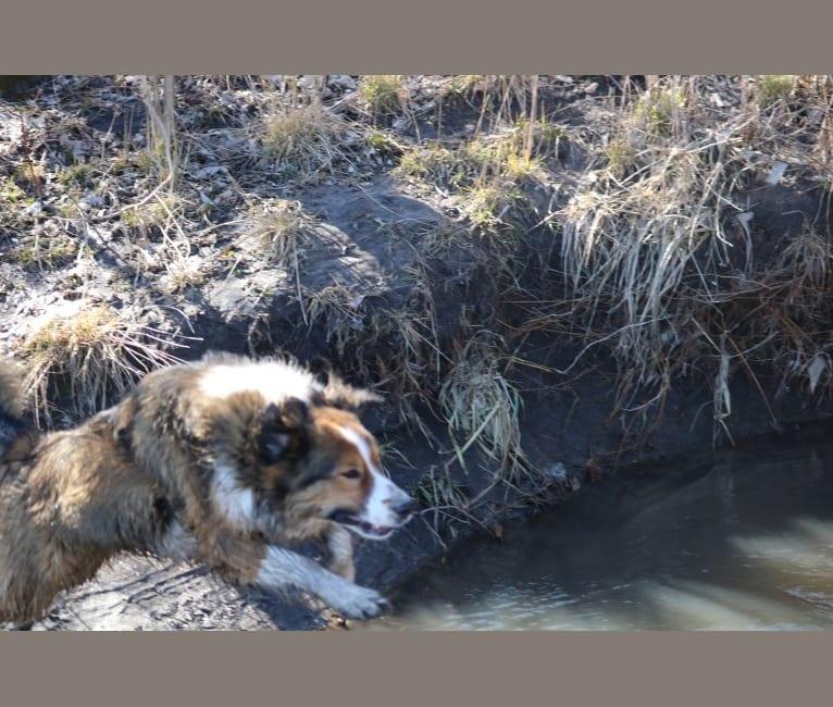 Photo of Mesa, an English Shepherd  in Wyoming, USA
