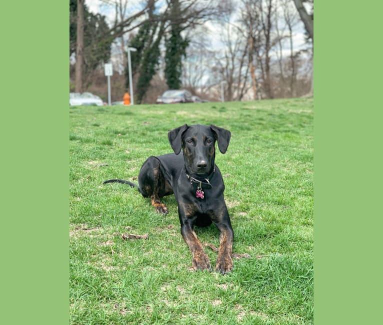 Photo of Jade, a Doberman Pinscher, Labrador Retriever, and German Shepherd Dog mix in Tennessee, USA