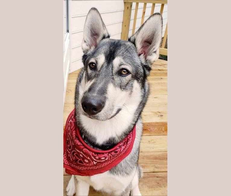 Photo of KAI, a Siberian Husky, Alaskan Malamute, and German Shepherd Dog mix in North Carolina, USA