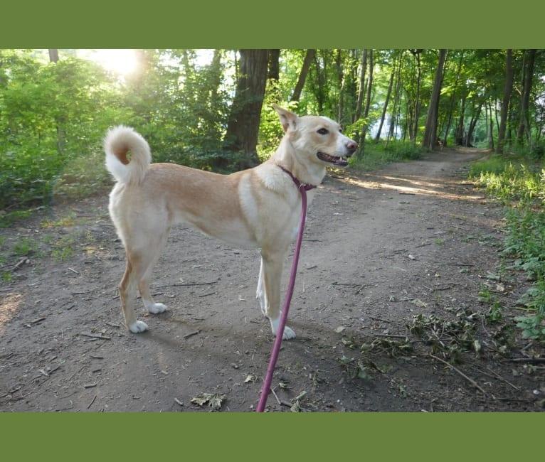 Photo of Abbie, a Canaan Dog  in Plóvdiv, Bulgarien