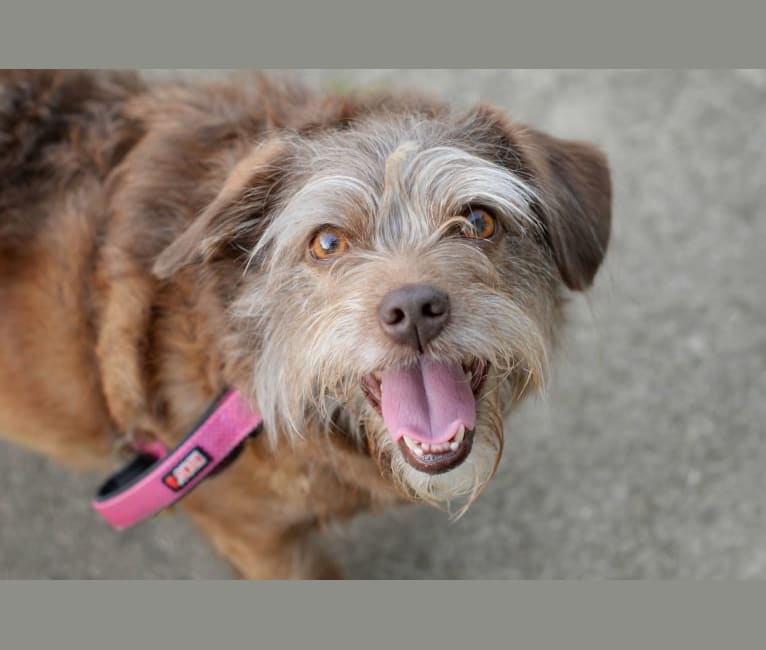 Photo of Bella, a Poodle (Small), Pekingese, Yorkshire Terrier, Cairn Terrier, and Mixed mix in Cincinnati, OH, USA