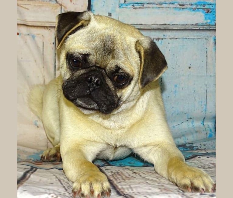Photo of Wasabi, a Pug