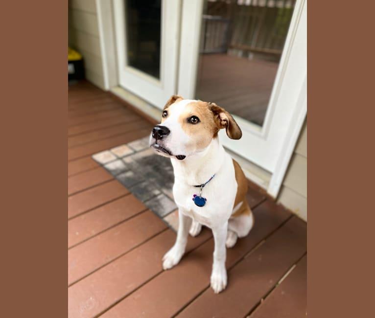 Photo of Noodle, an American Pit Bull Terrier, Saint Bernard, German Shepherd Dog, and Mixed mix in Atlanta, Georgia, USA