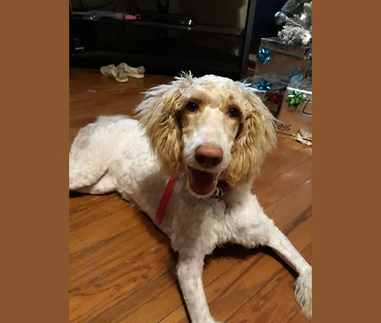 Photo of Cotton, a Poodle (Standard)  in Catawba, SC, USA