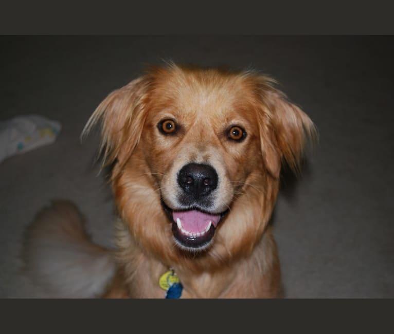 Photo of Mimi, a Golden Retriever and Australian Shepherd mix in Seattle, Washington, USA
