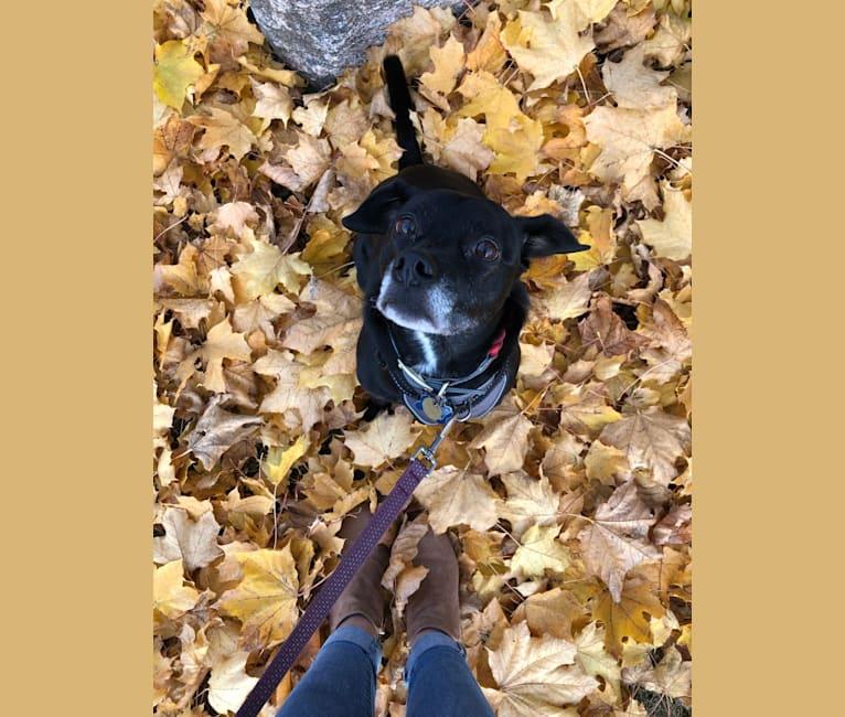 Photo of Queenie, a Boston Terrier, Border Collie, and Labrador Retriever mix in Missouri, USA